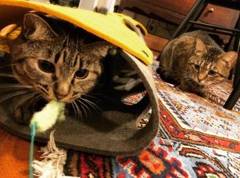 【今日のにゃんこ】トンネルと猫じゃらしで遊ぶサンちゃん