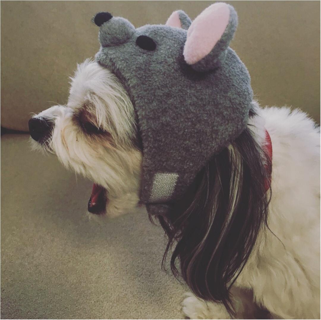【今日のわんこ】ねすみさんに変身!? 太郎くんの新しい帽子♡_1