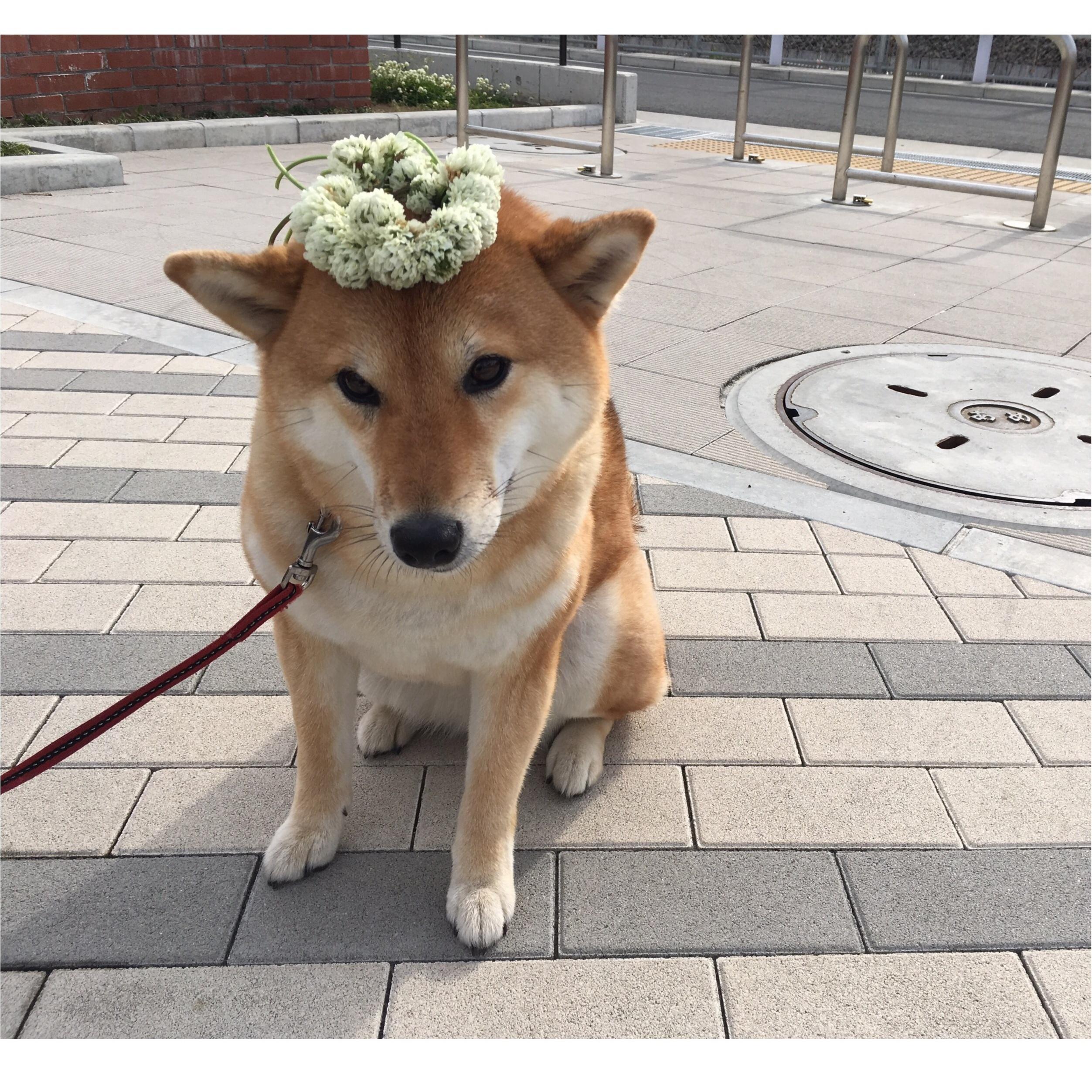 ★柴犬ナッツとお散歩コーデ★_6