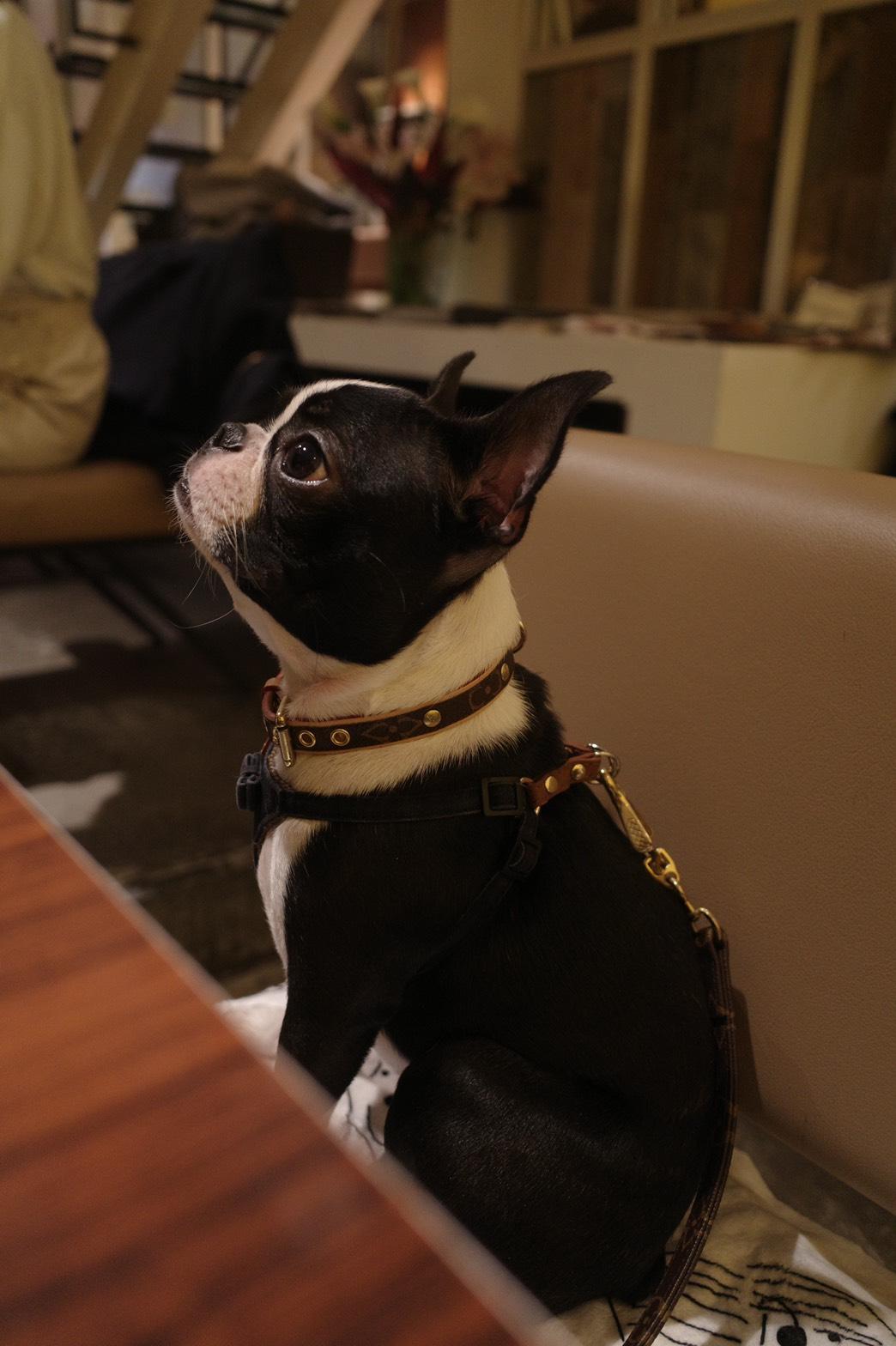 【今日のわんこ】へちまちゃん、カフェごはんに興味津々_1