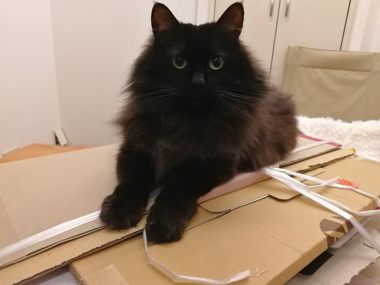 ダンボールで遊ぶ猫・ゆらちゃん