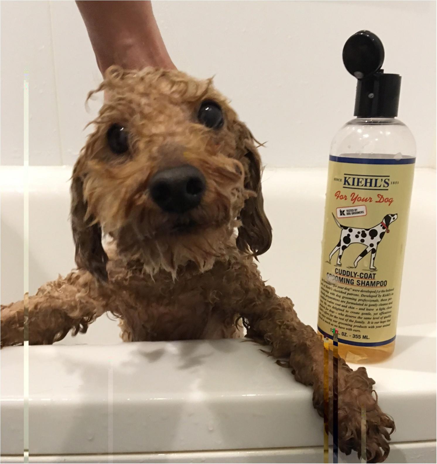 【今日のわんこ】お風呂LOVER犬・プーニョくんのおすすめシャンプー❤_1