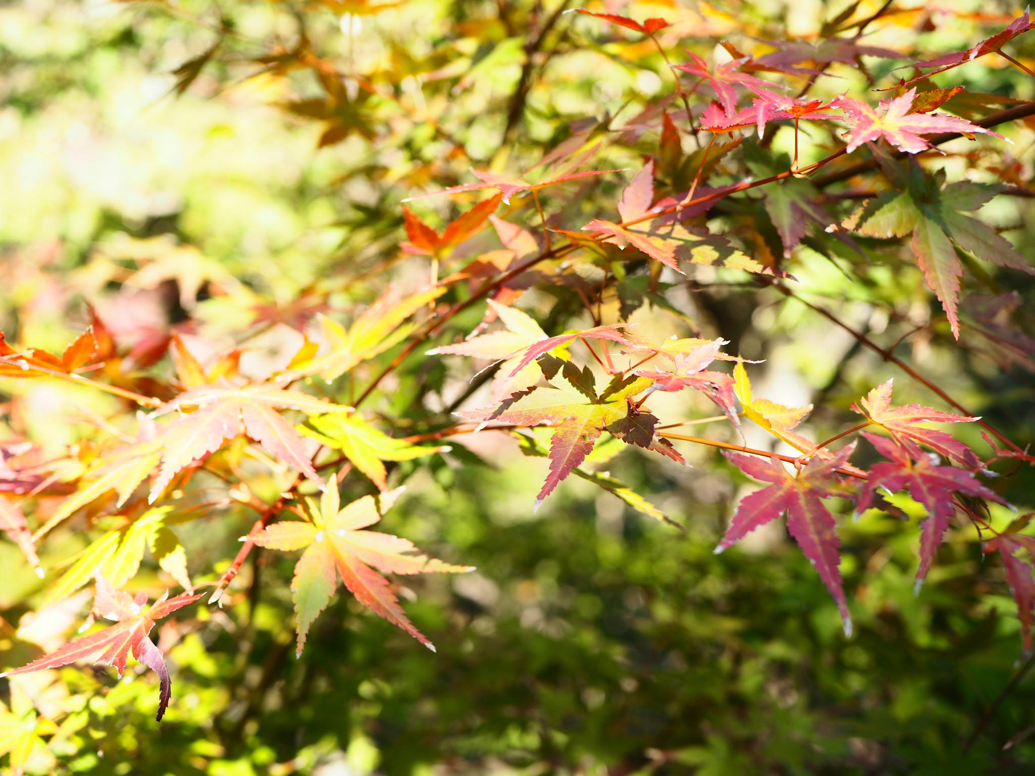 【#秋の鎌倉さんぽ】古民家でいただく絶品ビーフシチューと北鎌倉の紅葉♡_1