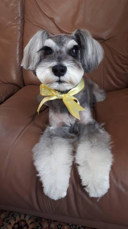 ソファーの上に座る犬・サクラちゃん