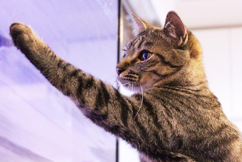 テレビに猫パンチをする雑種・ラビくん