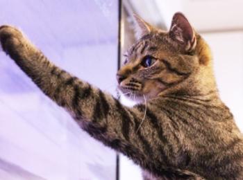 【今日のにゃんこ】テレビに向かって猫パンチ! サンちゃん