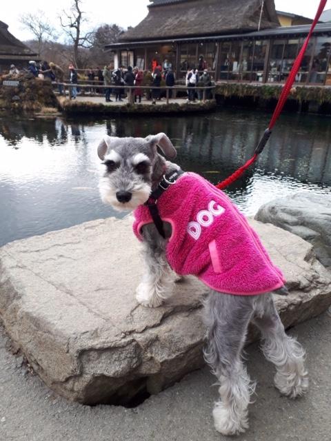 【今日のわんこ】サクラちゃんは、鮮やかピンクのお洋服を着ておでかけ♪ _1