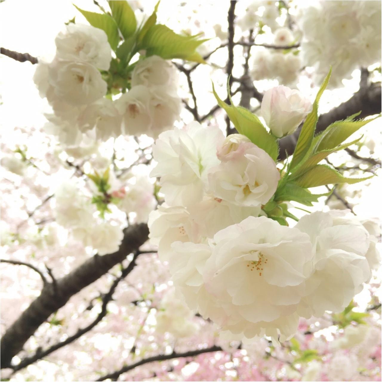《公園はしご旅》in 福岡 今が見頃!とっておきの桜スポットをご紹介!!_7