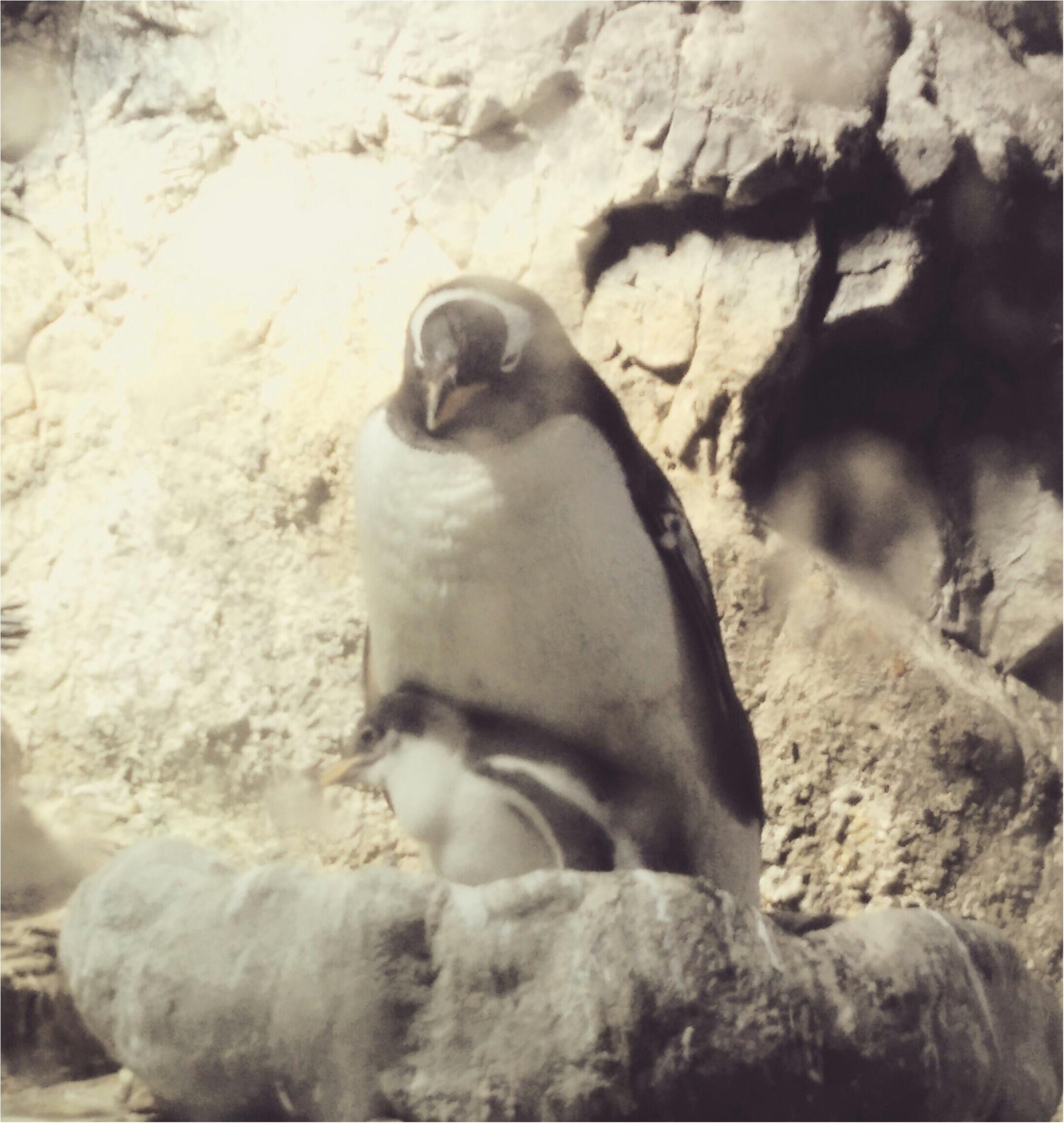 とっても可愛い!【海遊館】でペンギンの赤ちゃんが生まれましたよ!!(443 まゆ_1