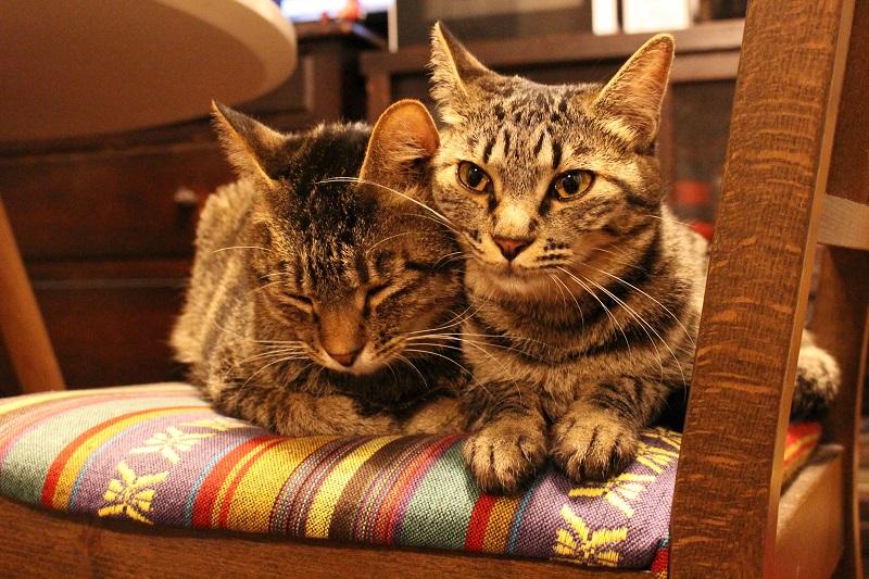 雑種猫・がんくんとサンちゃんが2匹並んで椅子の上に座っている様子