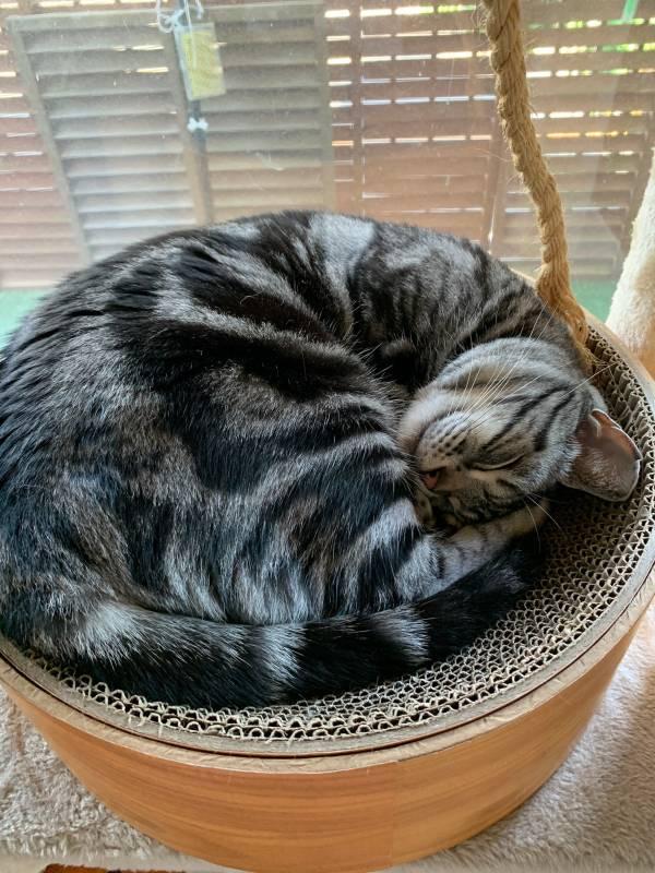 ダンボールベッドにご満悦な表情を浮かべる猫・ソラくん