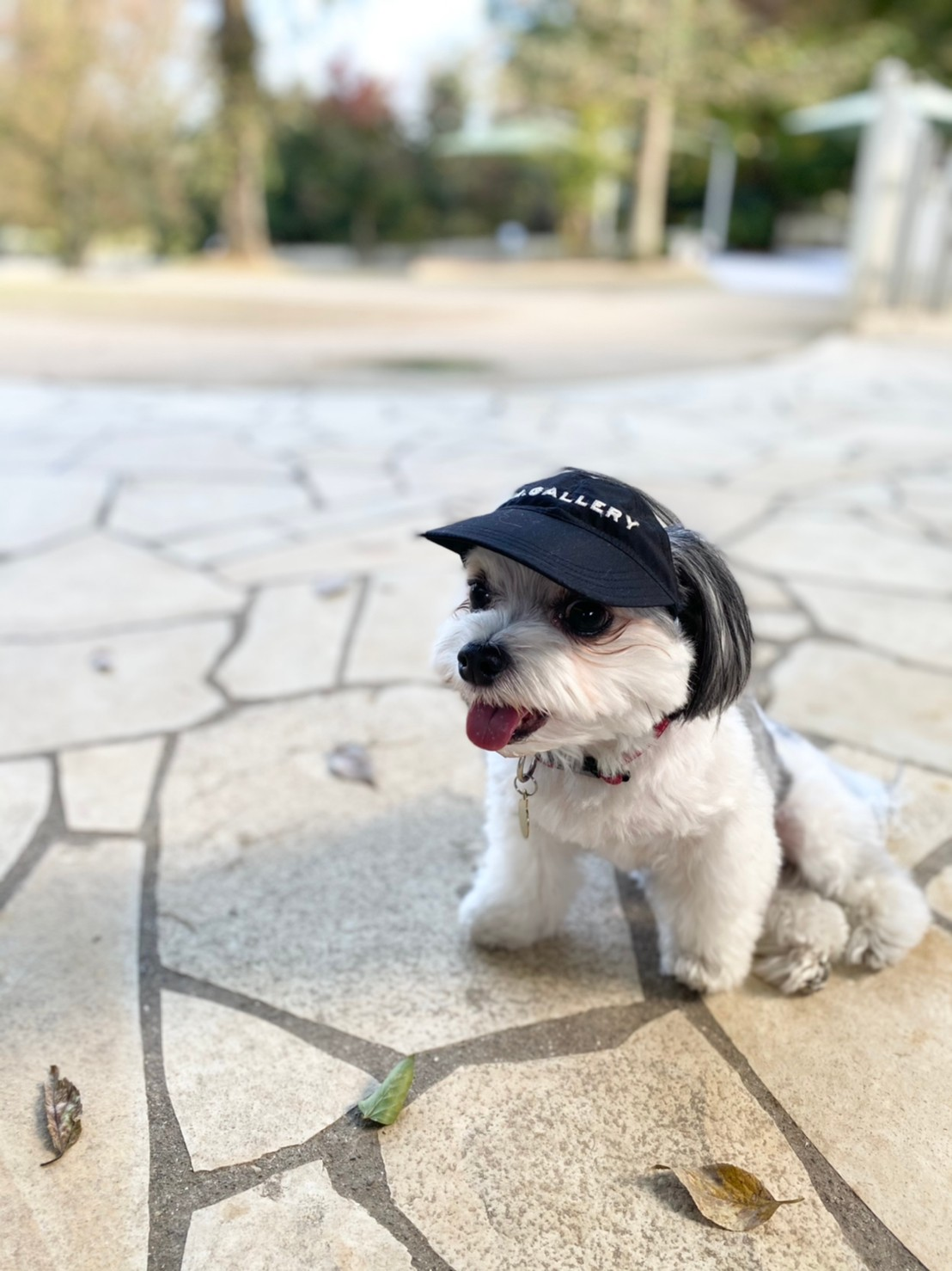 お気に入りの帽子をかぶって散歩をする犬・太郎くん