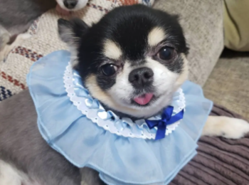 【今日のわんこ】ごんくん、青いドレスにひと目惚れ