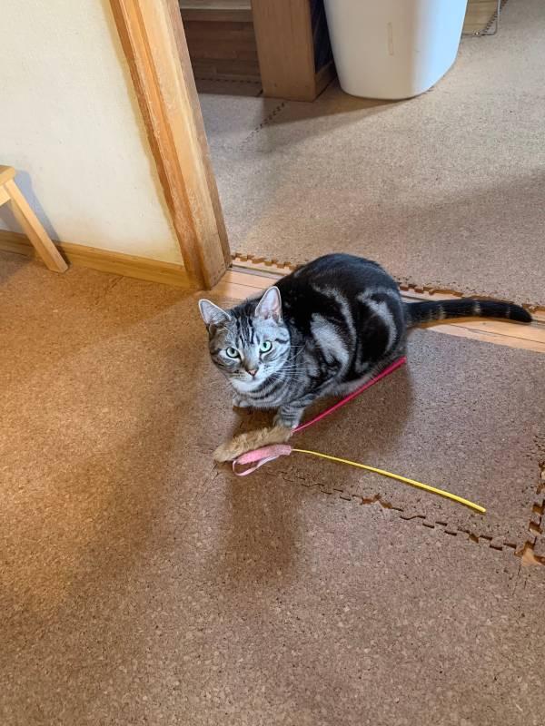 猫じゃらしをふたつ持ってきて遊んでアピールする猫・ソラ