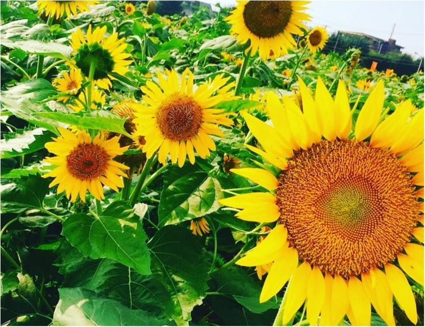 都内にある向日葵畑へ✨_1
