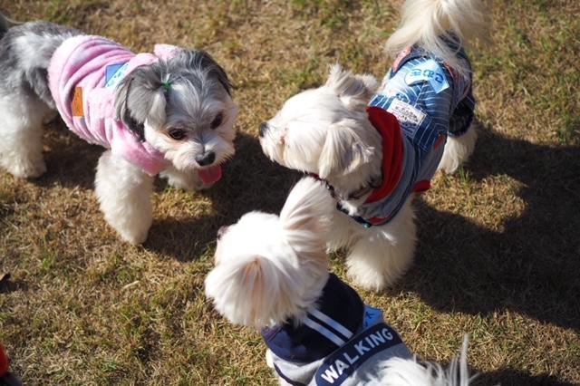 チワワとマルチーズのミックス犬・太郎君が近所の犬たちと戯れている様子