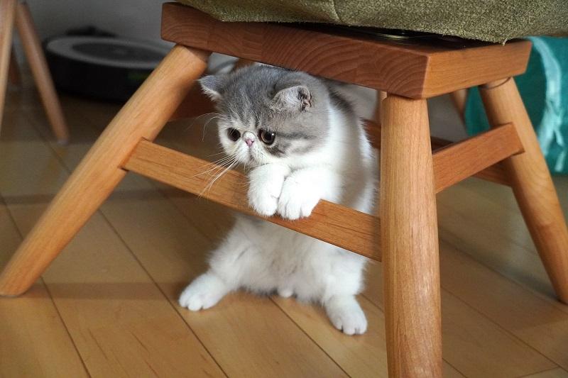 机の下で二足立ちしている猫・こたつくん