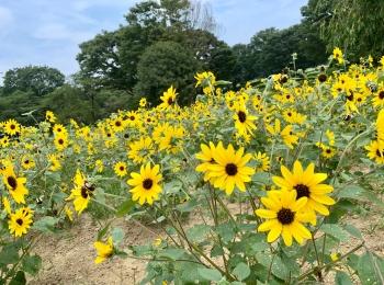 《ひまわりが今満開❤️》【立川•国営昭和記念公園】で過ごすのんびり休日☻