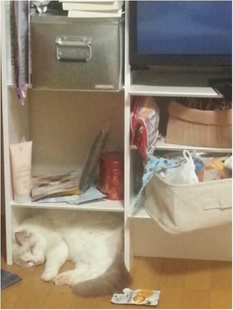 【今日のにゃんこ】遊び疲れて……。カイくんは戸棚の中で就寝中_1