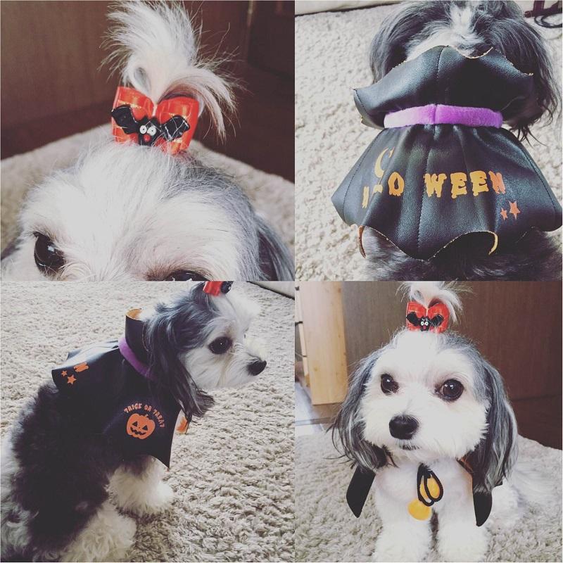 【今月のわんこ】チワワとマルチーズのミックス犬・太郎くんのコスプレ5選! ハロウィンの参考にしてみて♬_5