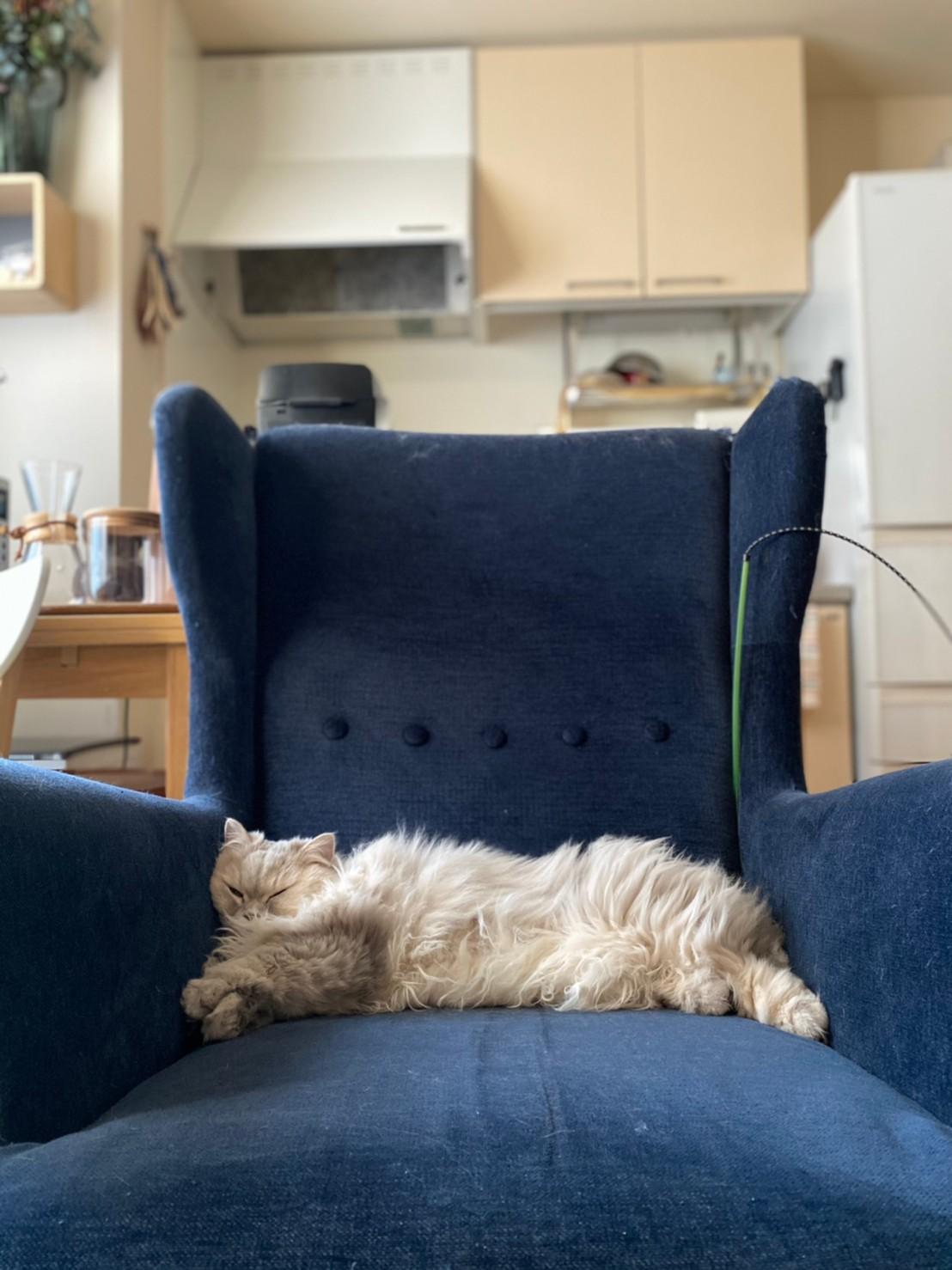 仕事用の椅子に横たわる猫・ココンちゃん