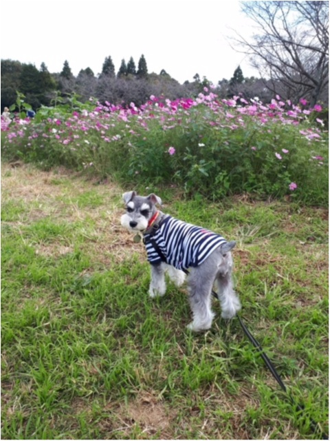 【今日のわんこ】お花畑におでかけのサクラちゃん♥ _1