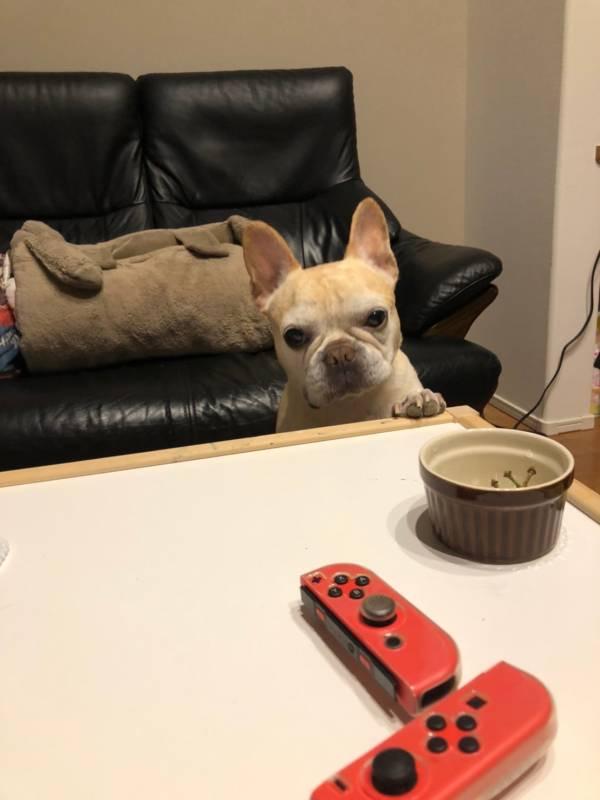 テーブルの上にあるココットを見つめる犬・まつこ