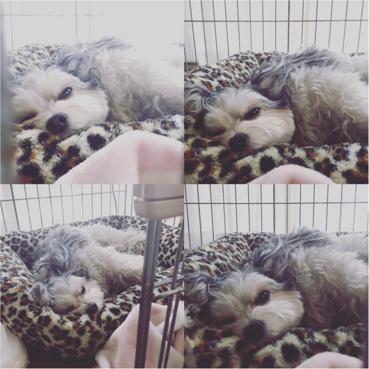 【今日のわんこ】幸せ~♡ 太郎くんは、大好きベッドでウトウト中♪_1
