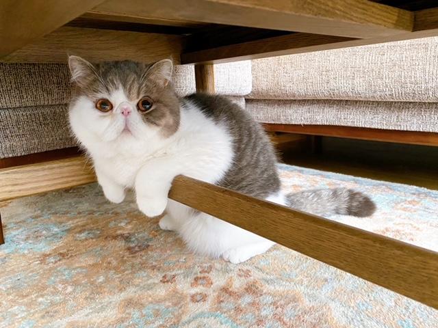 机の下でカメラに目線を送る猫・こたつくん