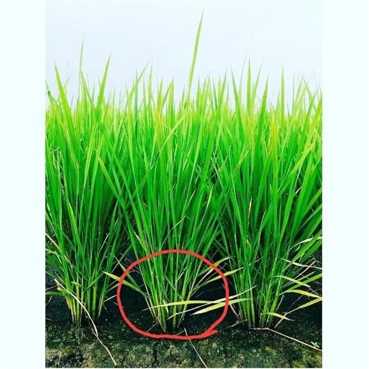稲の成長記録!暑さに負けず草取り!もうすぐ穂が…!?【#モアチャレ 農業女子】_5
