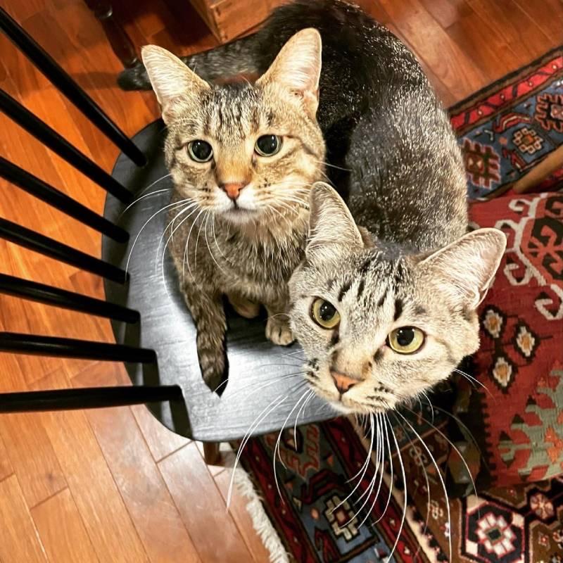 椅子に2匹仲良く乗っている雑種猫・がんくんとサンちゃん