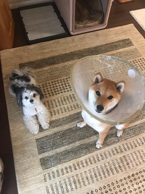 【今日のわんこ】柴犬の小太郎と久々にあそんだ! な太郎くん_1